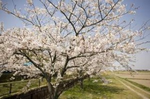 1260-sakura-yousui